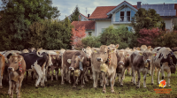 Almabtrieb and Viehscheid German Alpine Cow Parade in Autumn